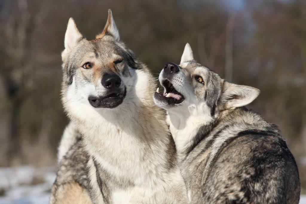 cani lupo cecoslovacchi