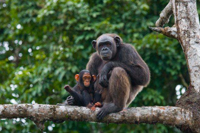 Scimpanzé (Pan troglodytes)