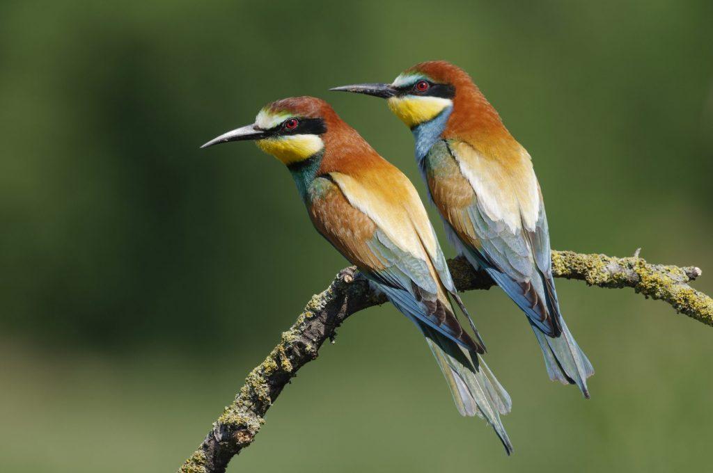 Il gruccione (Merops apiaster) è un migratore a lungo raggio che nidifica in Europa e trascorre l'inverno nell'Africa sub–sahariana