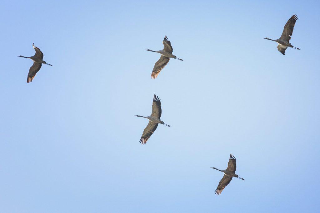 Le gru (Grus grus) migrano in gruppi che possono raggiungere centinaia di individui. Viaggiano nella caratteristica formazione a V per risparmiare energie durante il volo
