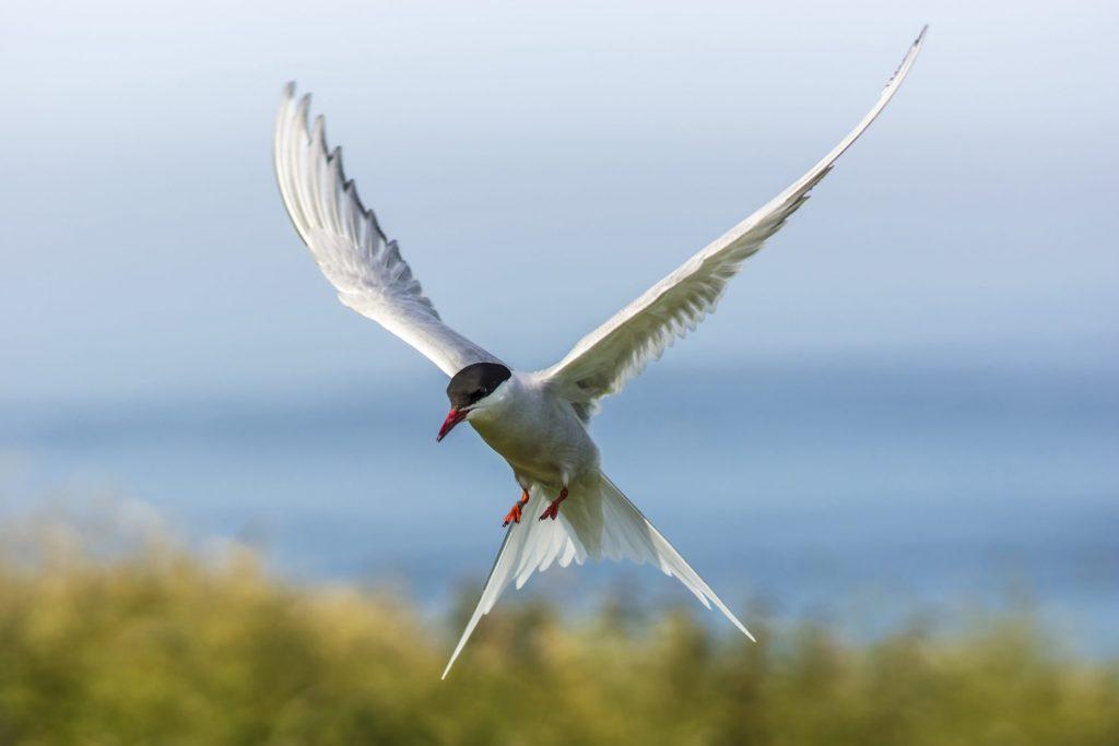 Nel corso della sua vita, migrando da polo a polo, la sterna artica (Sterna paradisea) può arrivare a percorrere sei volte la distanza che separa la Terra dalla Luna