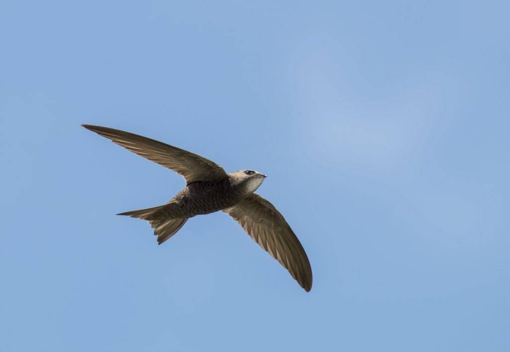 I rondoni comuni (Apus apus) non si stancano mai di volare. Passano tutto l'inverno in volo non posandosi mai, nemmeno per dormire