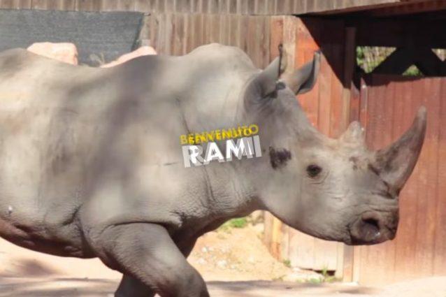 Rami, il rinoceronte bianco arrivato allo Zoom di Torino (credits:ZoomFacebook)