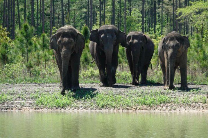 Gli elefanti arrivati al White Oak Conservation in Florida (credits:@WhiteOakConservation)