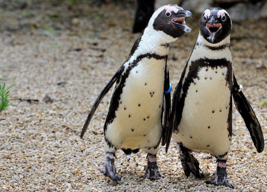 I pinguini del Bioparco. Una colonia numerosa che ultimamente ha visto la nascita di nuovi nuovi esemplari (credits:@BioparcoFacebook)