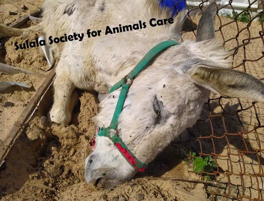 L'asino ritrovato ucciso dalle schegge nel rifugio di Gaza City (credits@SalulaAnimalRescue)