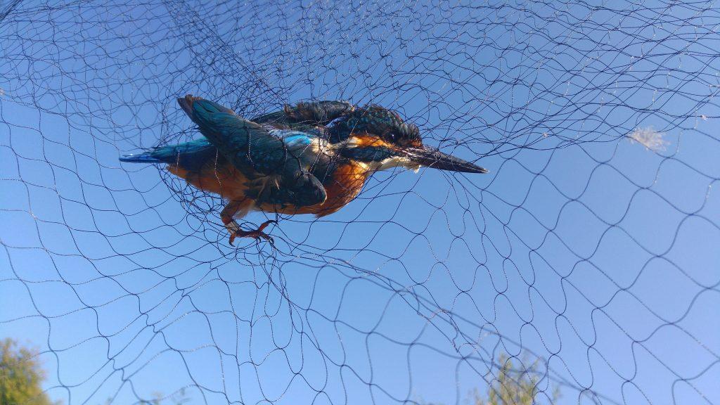 Un martin pescatore (Alcedo atthis) aspetta di essere estratto dalla rete