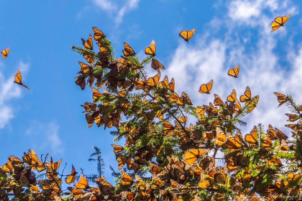 Durante la stagione autunnale centinaia di migliaia di monarca migrano verso sud per raggiungere il Messico