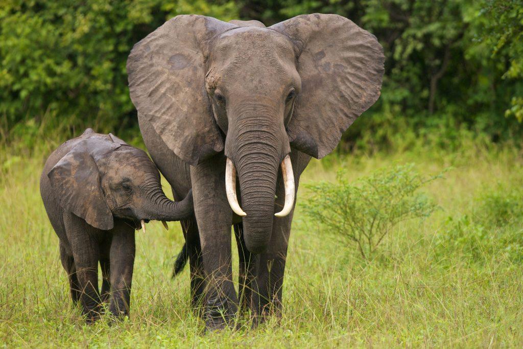 Mamma e piccolo di elefante africano di savana (Loxodonta africana) camminano fianco a fianco