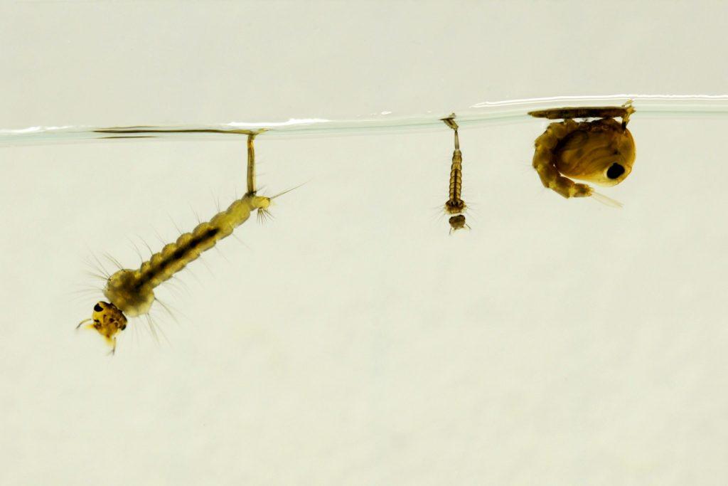 Larve di zanzare a diversi stadi di sviluppo e una pupa (a destra) in acqua