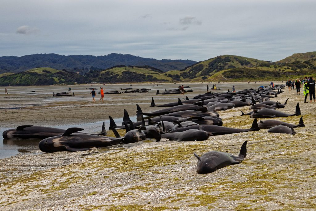 Un gruppo di globicefali (Globicephala melas) spiaggiatosi sulle coste della Nuova Zelanda nel 2017