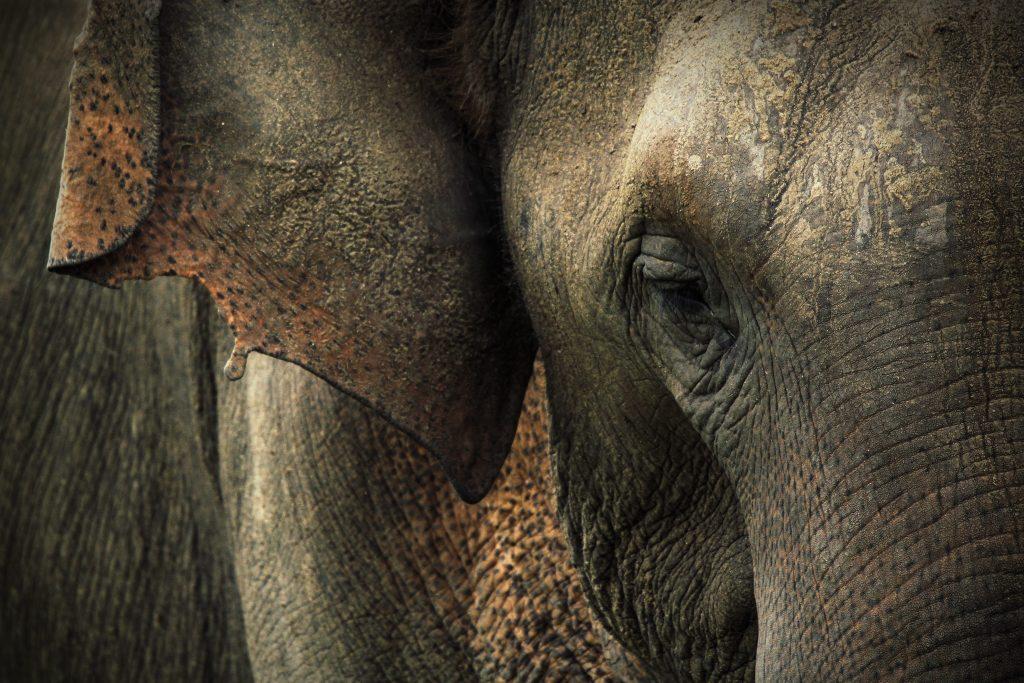 Primo piano di un elefante asiatico (Elephas maximus)