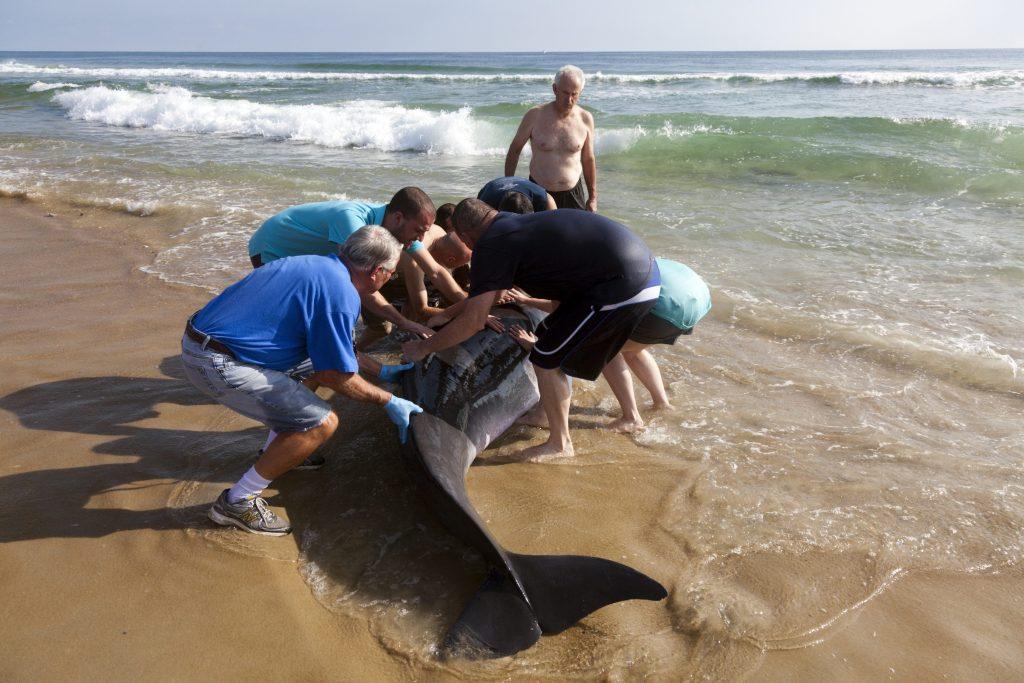 Un gruppo di volontari aiuta un capodoglio (Physeter macrocephalus) arenato nella Carolina del nord nel 2014 a riprendere il largo