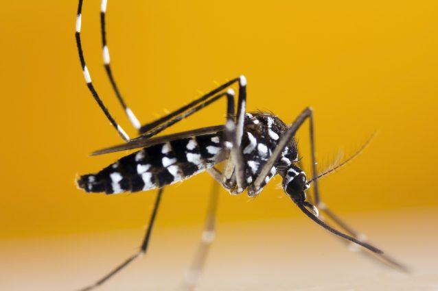 Esemplare di Aedes albopictus