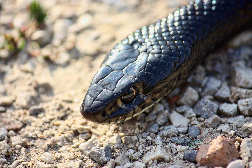 Il biacco (Hierophis viridiflavus) è uno dei serpenti più comuni presenti in Italia