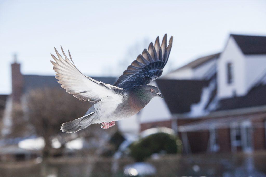 I piccioni sono maestri nel ritrovare la strada di casa e utilizzano anche il campo magnetico per orientarsi