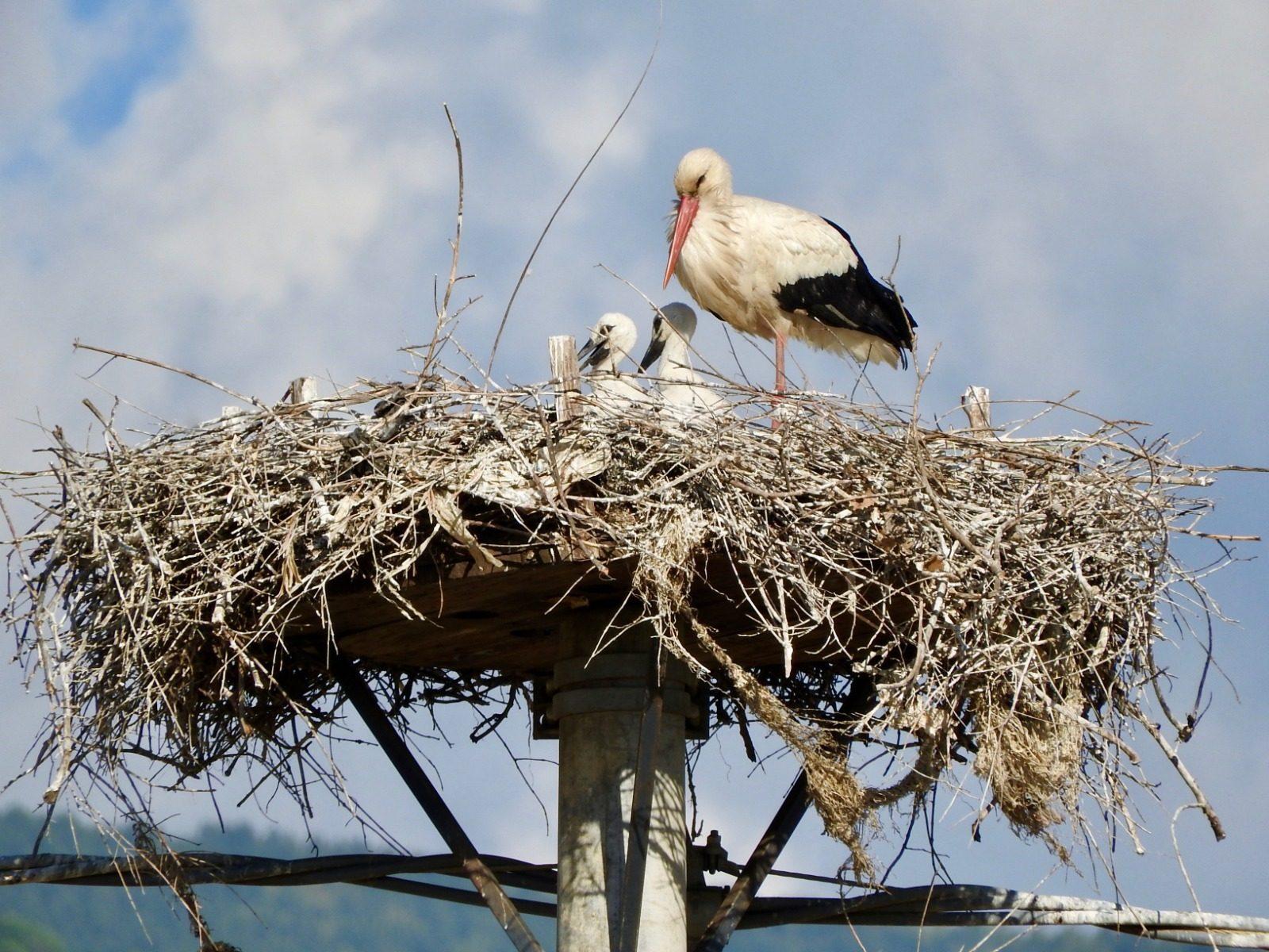 Un nido con due piccoli e un genitore costruito su un traliccio (credits:RobertoSantopaolo)