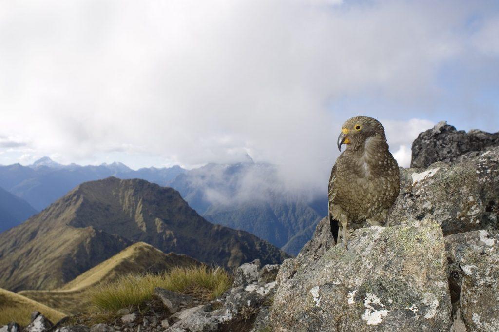 I kea vivono tra le montagne della Nuova Zelanda e sono purtroppo considerati in serio rischio estinzione