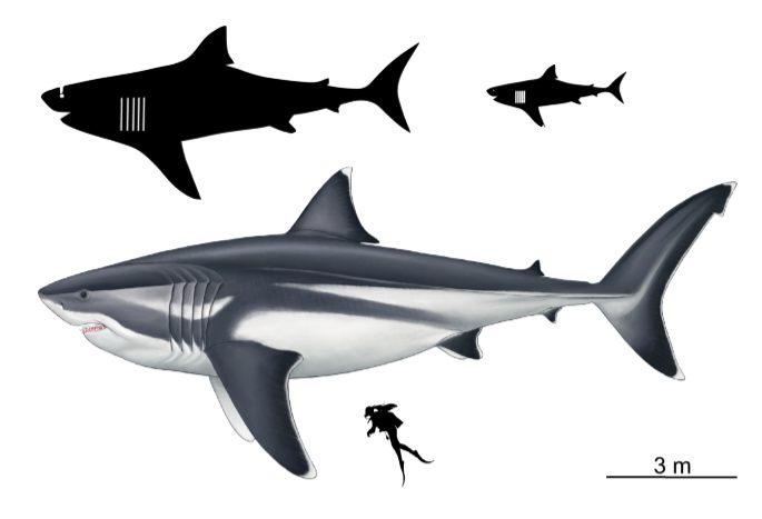 Il confronto tra un megalodonte lungo 16 metri, un sub alto 1,65 m e altri due squali generici rispettivamente lunghi 8 e 3 metri