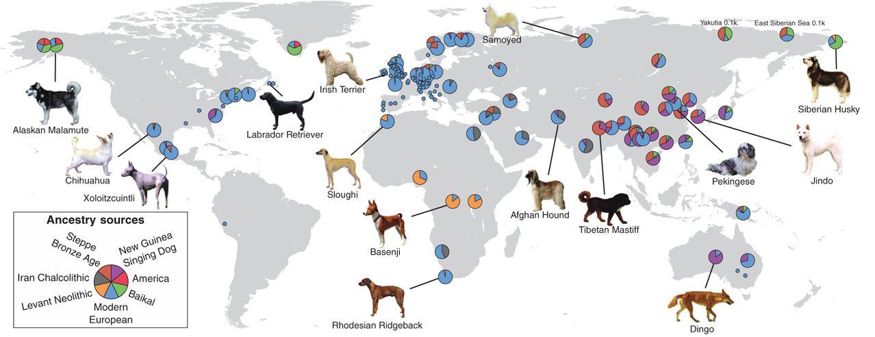 I cani di oggi derivano da cani antenati vissuti intorno a 11.000 anni fa ©Bergström, A., Frantz, L., Schmidt, R., Ersmark, E., Lebrasseur, O., Girdland–Flink, L., … & Skoglund, P. (2020). Origins and genetic legacy of prehistoric dogs. Science, 370(6516), 557–564.