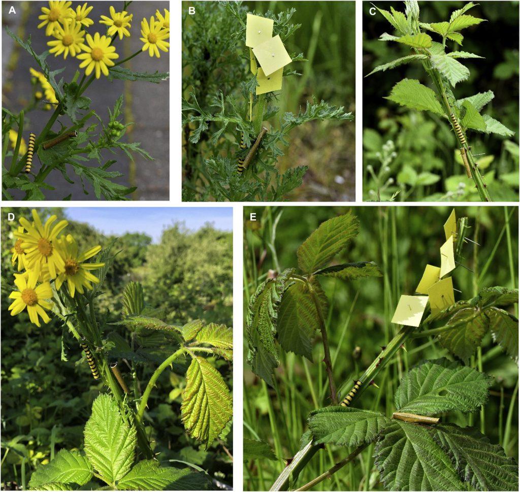 Foto dei vari test effettuati con bruchi finti vistosi e non su piante di senecio e rovo. McLellan et al., 2021