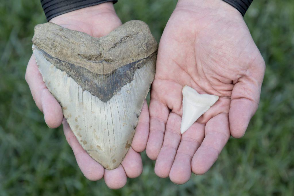 Un dente fossile di megalodonte (Asinistra) comparato a quello di uno squalo bianco