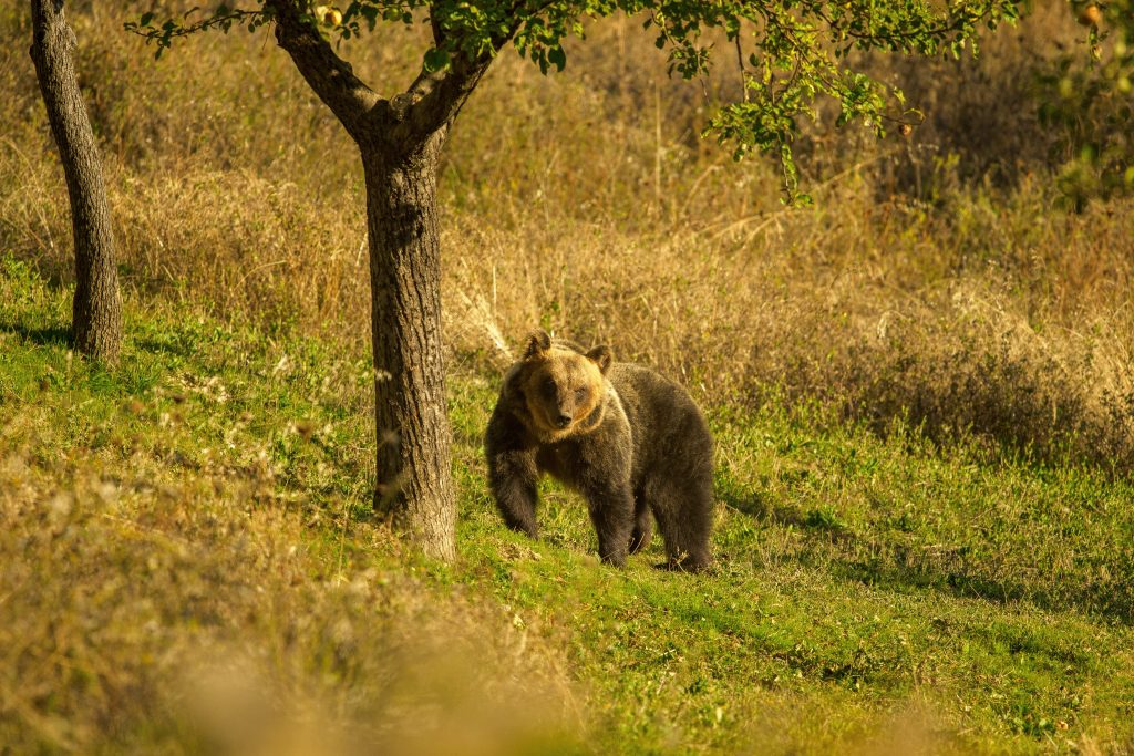 Più piccolo del cugino che vive nel resto d'Europa, quello marsicano è la sottospecie di orso bruno più minacciata d'Europa