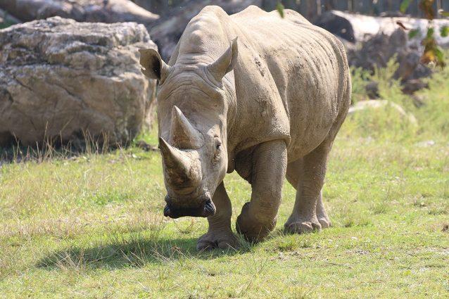 Toby, il rinoceronte bianco meridionale morto il 6 ottobre 2021 ©Parco Natura Viva