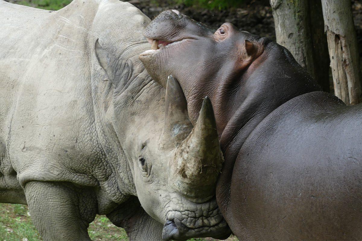 Toby insieme ad un ippopotami ©Parco Natura Viva
